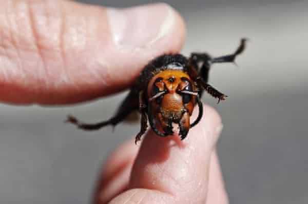 dead Asian giant hornet
