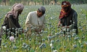 Afghan farmers harvest opium in Helmand province