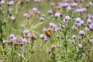 An orange butterfly on purple flowers at Bushy Park, south-west London.