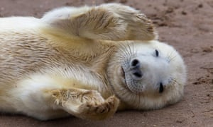 A grey seal pup playing at Donna Nook, Lincolnshire.