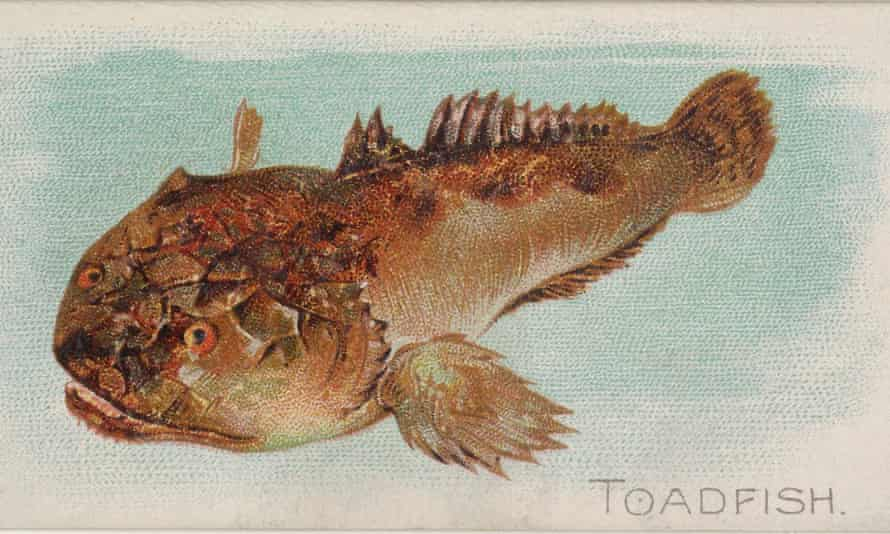 """In California, houseboat residents heard the sound and thought it was produced by navy experiments or aliens. Fortunately, it was the """"plainfin midshipman"""", a species of toadfish."""