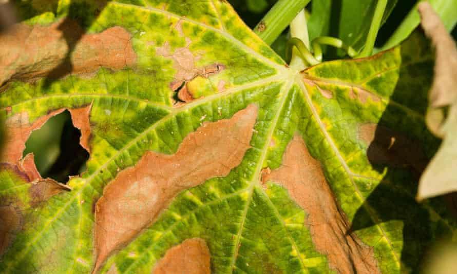 Xylella fastidiosa can cause leaf scorch.
