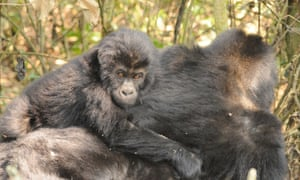 An infant Grauer's gorilla rides on the back of an adult. The subspecies has seen a dramatic drop in numbers.