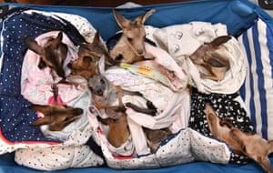 Queensland, Australia. Orphaned kangaroo and wallaby joeys lay in a cart at the Australia Zoo Wildlife Hospital in Beerwah