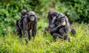 Simian questions … bonobos in central Africa.