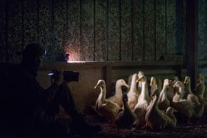 A duck farm in Australia, 2017.
