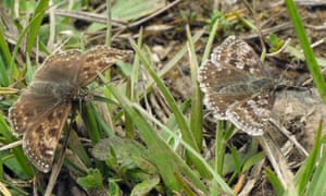 Dingy skippers courting