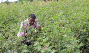 Tadesse Amera works with smallholder farmers to produce organic cotton.