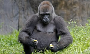 Tumani, a 13-year old critically endangered western lowland gorilla in New Orleans Monday.