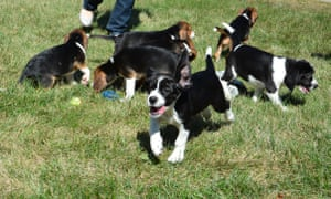 The seven puppies playing on grass