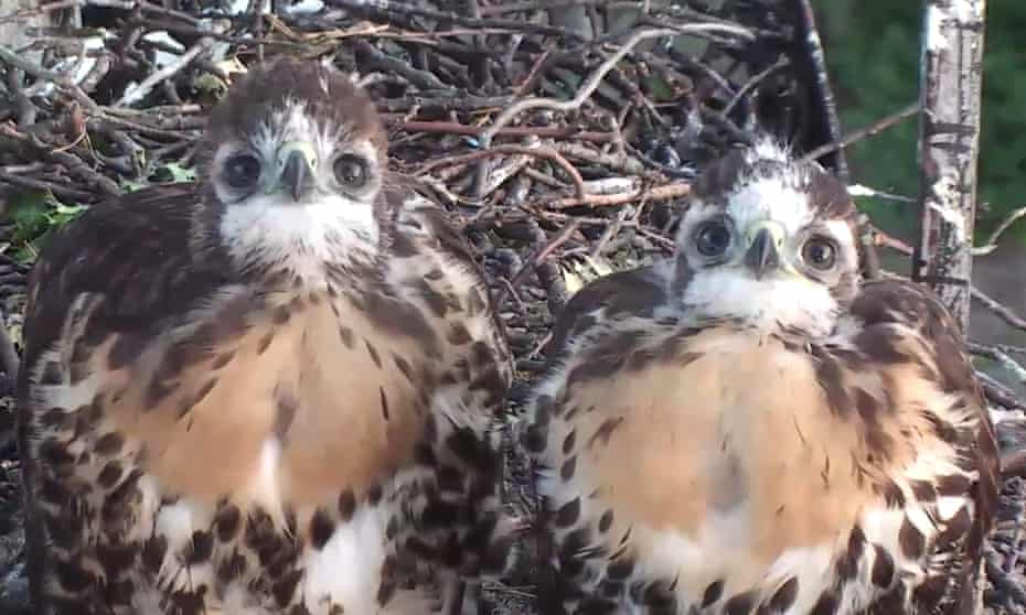 Anyone for Nestflix?: a pair of red-tailed hawks in their nest. Viewing figures for online nestcams are now sky high.