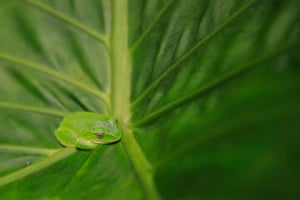 A green tree frog on a leaf in the mountainous area of Hualien, Taiwan.