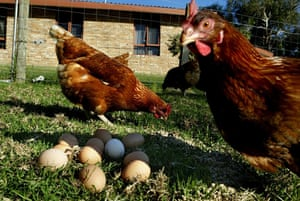 Generic picture of chickens and eggs. chooks. Photo taken 30th March 2004. SMH FEATURES. Photo by photograph by EDWINA PICKLES. (Photo by Fairfax Media/Fairfax Media via Getty Images)