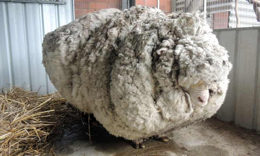 A giant woolly sheep in Canberra in 2015. Australian animal welfare officers put out an urgent appeal for shearers after finding the sheep with wool so overgrown its life was in danger