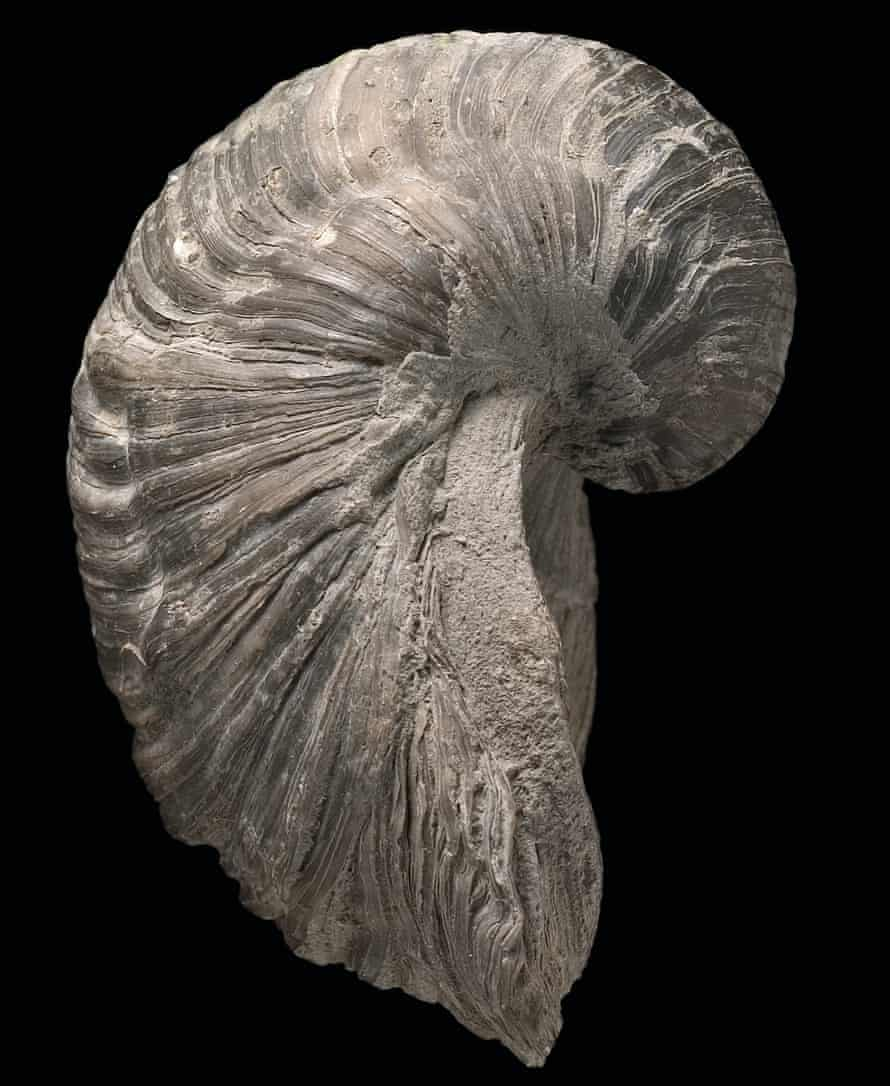 Commonly known as Devil's toenail, the 7 cm long Gryphaea is a bivalve related to the oyster. It is one of the most common fossils found in the British Jurassic.
