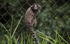 A marmoset monkey climbs a fence inside the Deodoro Olympic village in Rio de Janeiro ahead of the opening of the 2016 Olympic Games