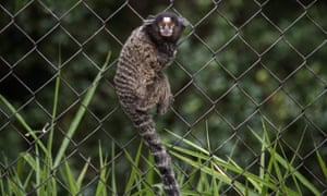A marmoset monkey. Five marmosets were reported stolen as part of the hoax.