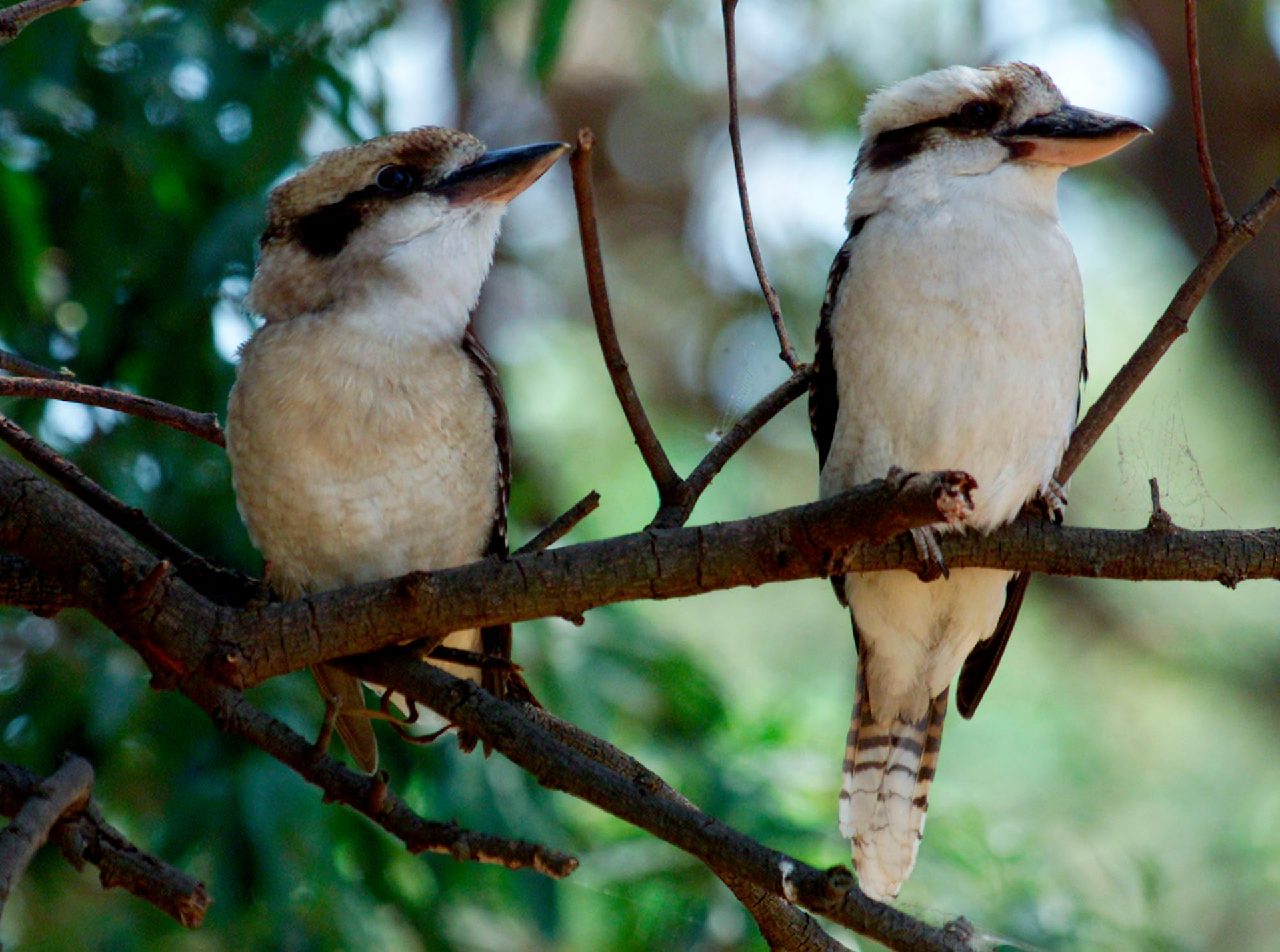 Man who tore head off kookaburra in Perth pub fined ,500