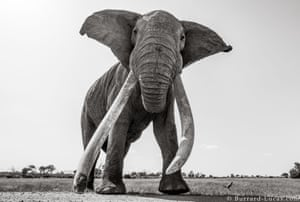 Meet LU1, a male big tusker and one of the stars of the book