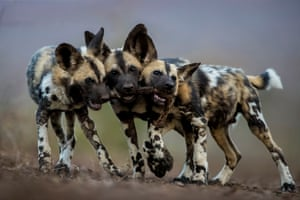 Highly commended: One Toy, Three Dogs by Bence Mate, Hungary