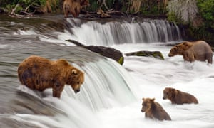 Grizzly bears fishing in Katmai national park.