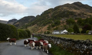 A flock of Herdwick sheep on a road