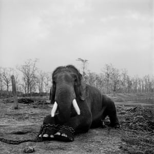 Image by Patrick Brown @patrickbrownphoto. A large bull elephant sits with its legs chained in Chitwan national park. This 50-year-old was restrained because he had killed five mahouts (handlers) during his lifetime. Elephants are now being used as walking guides in the jungle rather than as traditional – and cruel – tourist transport. This marks a growing trend in the tourist industry as the welfare of animals becomes increasingly important to travellers and tour organisers.