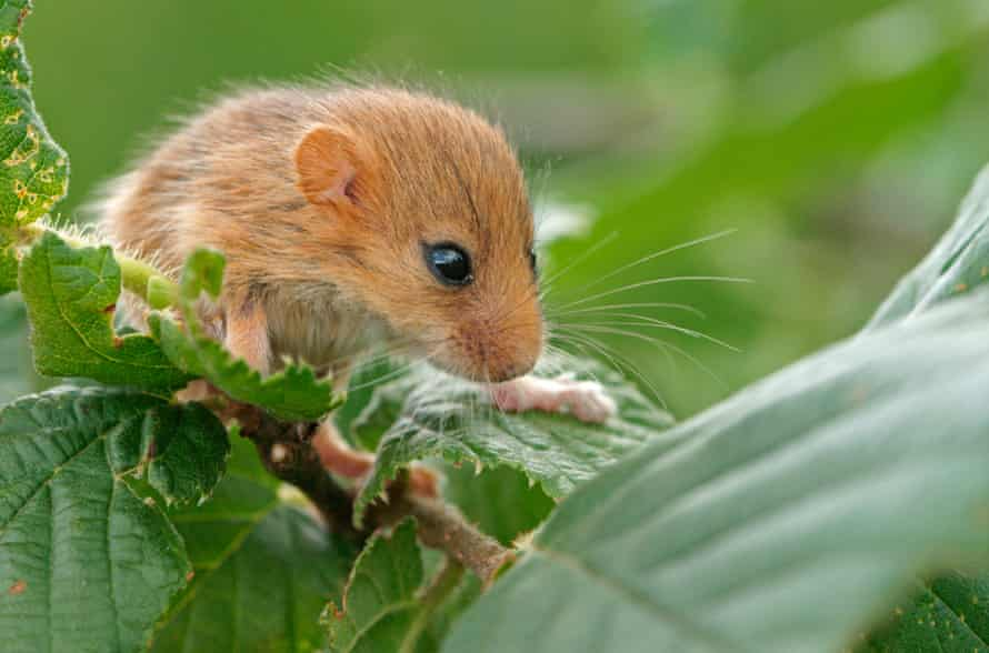 Dormice have become extinct in 17 English counties in the past 100 years