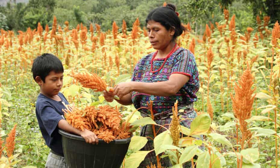 A woman stands in a field of amaranth plants, harvesting their reddish plumes and handing them to a boy who holds a bucket to collect them.