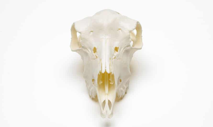 Skull of a genetically modified BioSteel goat.