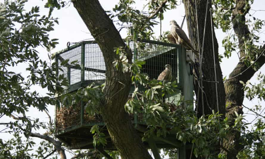 Special aviaries, or 'hacks', set up for the falcons