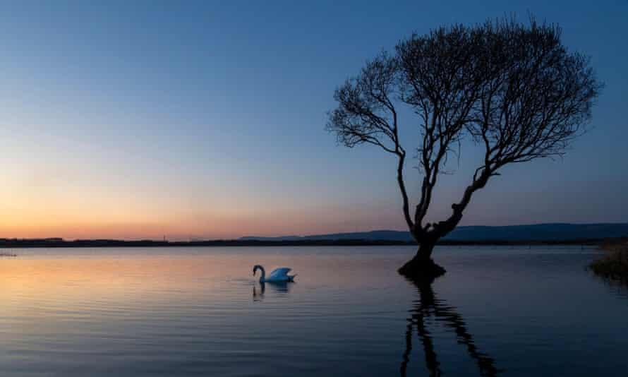 Un cisne en el árbol en la reserva natural de la piscina Kenfig cerca de Porthcawl, Gales del Sur, Reino Unido2F782E7 Un cisne en el árbol en la reserva natural de la piscina Kenfig cerca de Porthcawl, Gales del Sur, Reino Unido