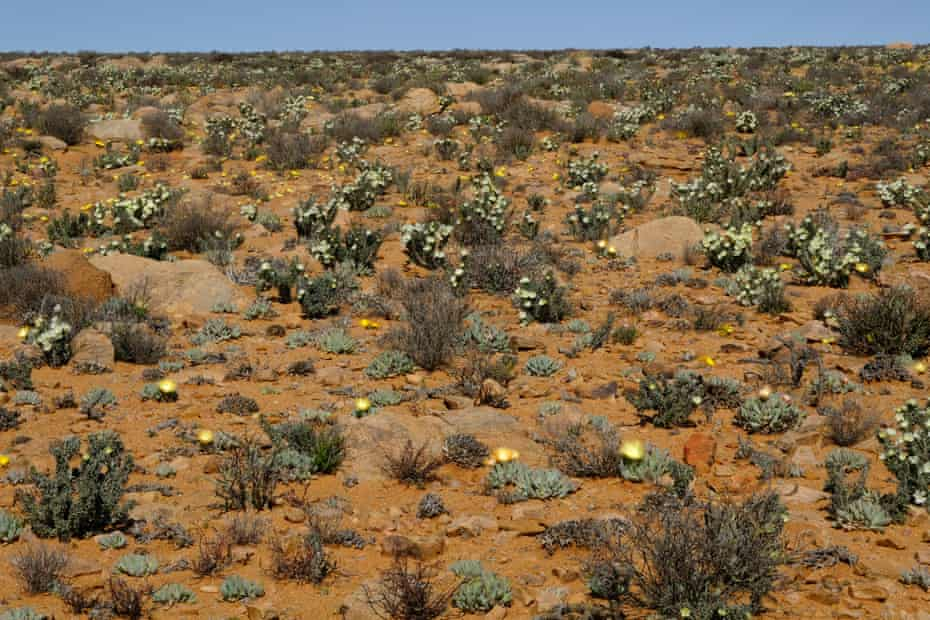 Flowering succulents (Cheiridopsis vygies and Monsonia shrubs) in the eastern Kamiesberg, after good rains in winter and spring 2020 Nick Helme