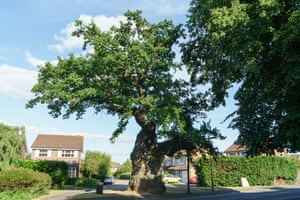 The Crouch Oak in Surrey, nominated 'because it's simply old and Queen Elizabeth I is said to have picnicked under it'. The tree once served as a marker for the edge of Great Windsor Forest, and in the early 19th century the landowner fenced it off because young women had been stripping its bark o make love potions