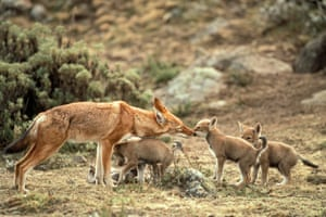 Ethiopian wolf and pups