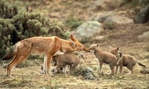 There are less than 500 Ethiopian wolves in the wild, all highly exposed to infectious diseases transmitted by domestic dogs.