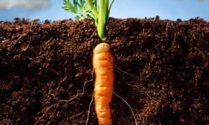 Back to your roots: a keenly growing carrot.