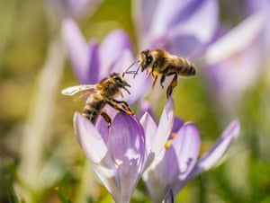 Two bees rest on a crocus in Frankfurt am Main in western Germany