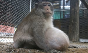 The monkey, nicknamed 'Uncle Fat', will be looked after for a few months before being released into the wild.