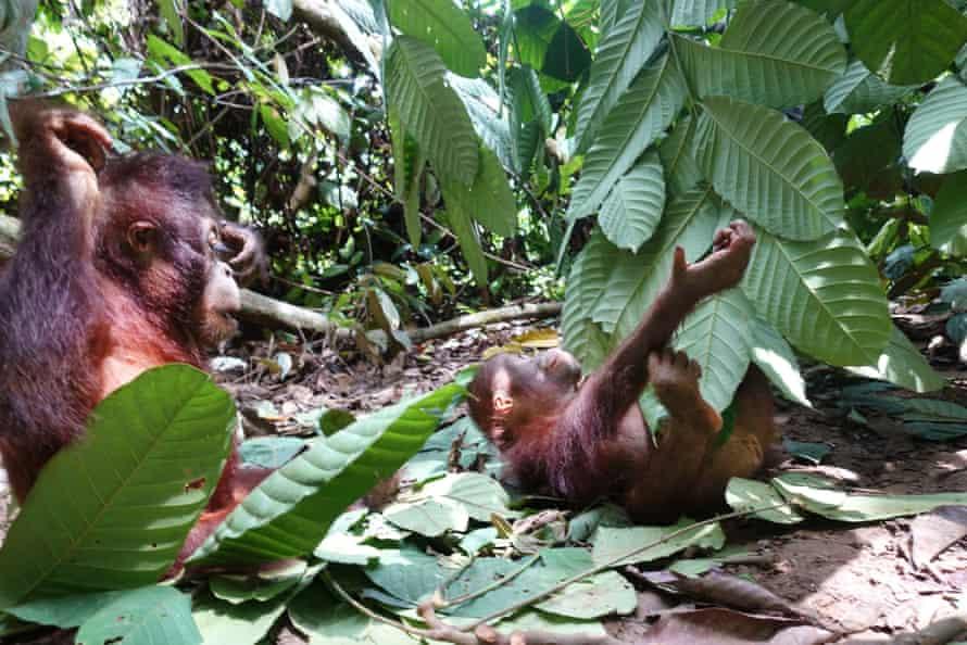Orangutans Eska and Cantik