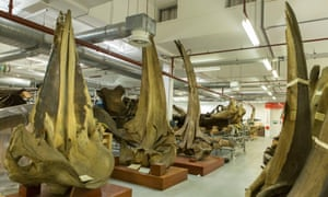 Whale skulls, part of the Natural History Museum's exhibition.