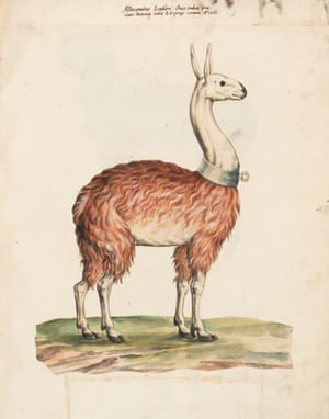 The Latin text that accompanies this rather clumsy image of a South American llama describes it as allocamelus (literally 'another type of camel')