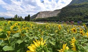 Sunflowers on the Tour de France