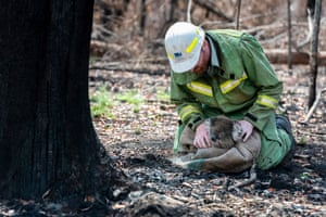 Forest and wildlife officer Lachlan Clarke checks a koala for injuries.