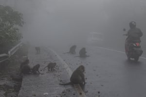 A monkey eating a cigarette pack on a road in Bali, Indonesia