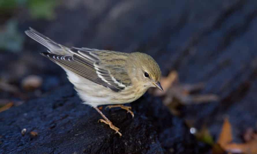 Male blackpoll warbler in New York City's Central Park.