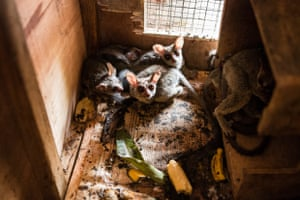 Thousands of live wild animals including reptiles, parrots and primates are being legally exported from Africa for use as exotic pets globally, including the UK, posing biosecurity and disease risks as well as threats to animal welfare and conservation, according to a report by World Animal Protection