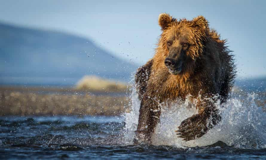 A brown bear hunts for salmon in Alaska.