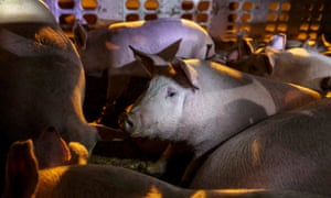 Pigs sit quietly on the two storey metal truck taking them in through the gates. Activists claim that the pigs receive no food or water during their journey, which may take several days from farm to slaughterhouse.