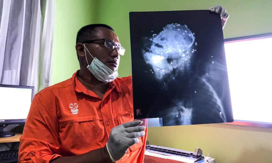 The orangutan was riddled with 130 airgun pellets, mainly in its head and eyes.